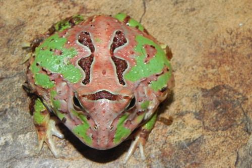 Tri-Color Pac Man Frog for sale