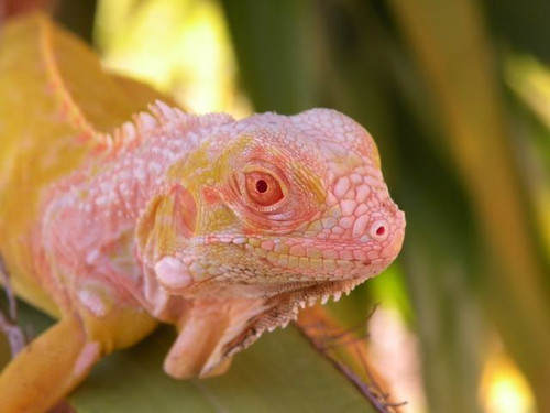 Albino Green Iguana for sale