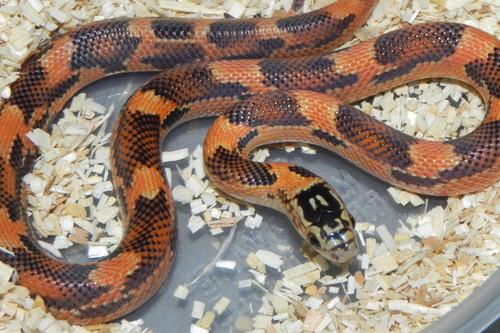 Goins King Snake for sale (Lampropelitis getula goini) - Blaze Blotched
