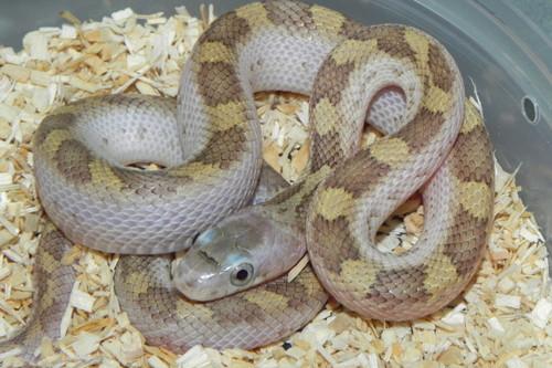 White Sided Black Rat SNake for sale