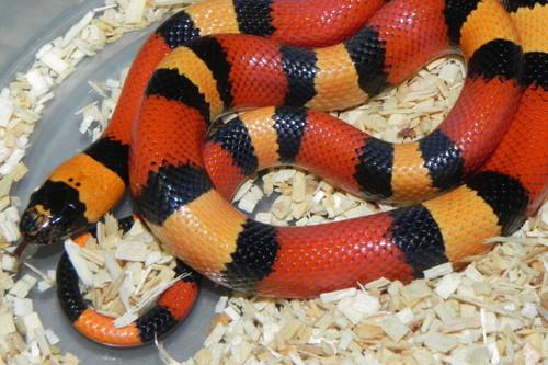 Apricot Pueblan Milk Snake for sale