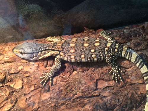 Baby Black Throat Monitors for sale -