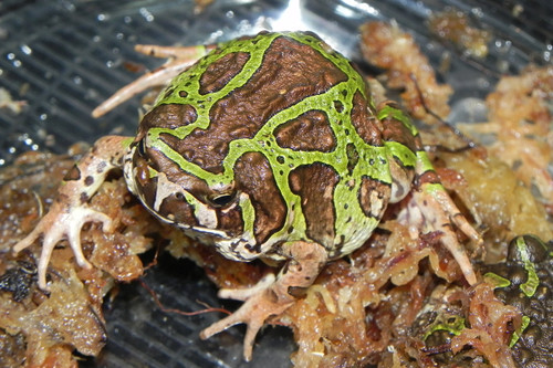 Green Hopper Frog (Scaphiophyrne marmorata)