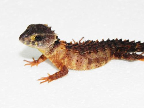 White Eye Crocodile Skink for sale (Tribolonotus gracilis)