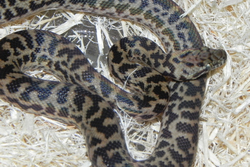 Spotted Pythons for sale (Antaresia maculosa) MALE ONLY