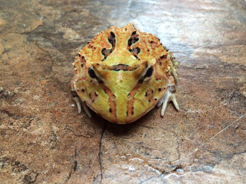 Fantasy Pac Man Frogs for sale (Ceratophrys cranwelli) - yellow
