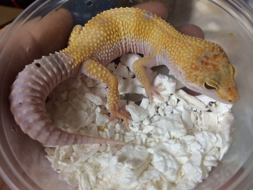 Adult Enigma Leopard Geckos (Eublepharis macularius)