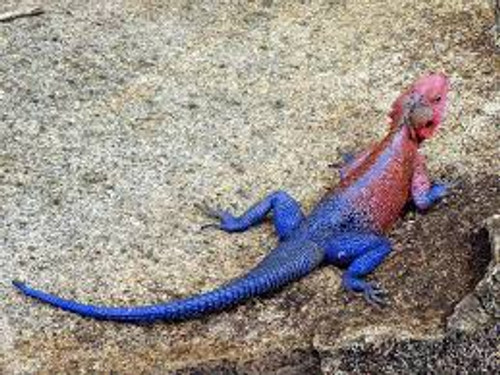 Spider Man Agamas for sale