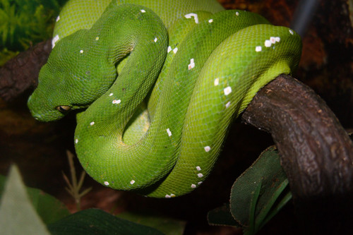 Adult Green Tree Python for sale