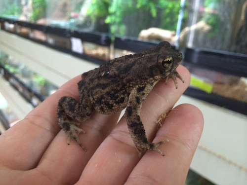 Marble Toad for sale