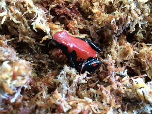 Red Splash Back Dart Frogs for sale