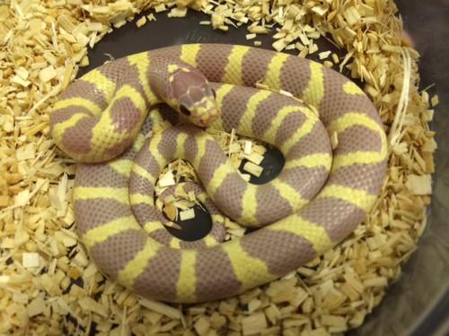 Red Eye Lavendar Banded California King Snake for sale | Snakes at Sunset