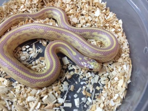 Red Eye Lavender Striped California King Snake for sale | Snakes at Sunset