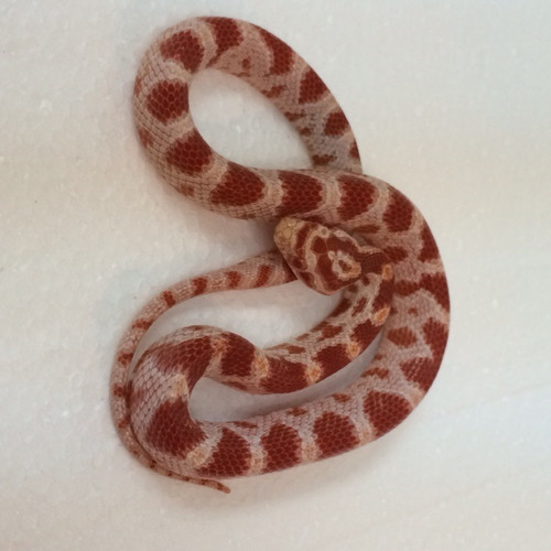Candy Cane Corn Snake for sale
