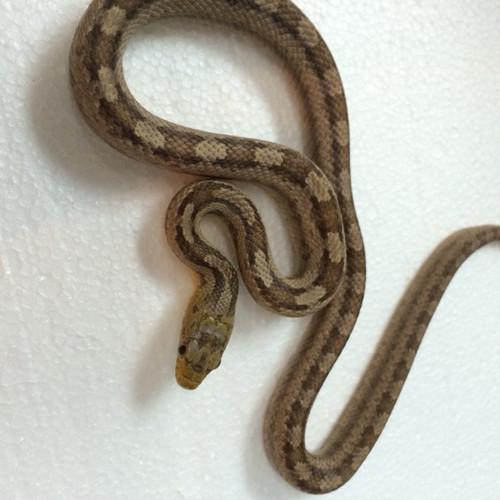 Gulf Hammock Rat Snakes for sale