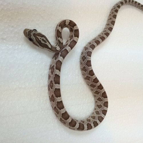 Ghost Corn Snakes for sale
