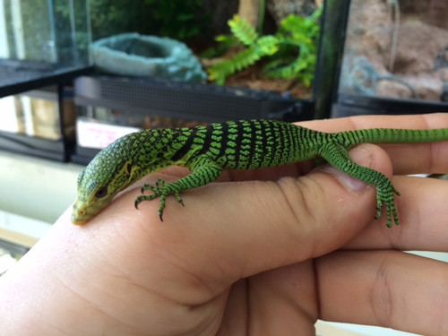 Baby Green Tree Monitors (Varanus viridis)