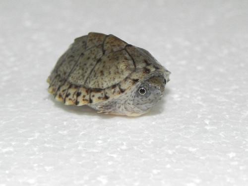 Razorback Musk Turtles for sale (Sternotherus carinatus)