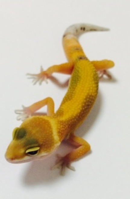 Jungle Hypo Tangerine Leopard Gecko for sale | Snakes at Sunset