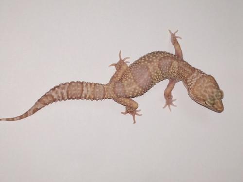 Albino Leopard Geckos for sale - females   Snakes at Sunset