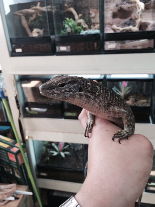 GIANT Plated Lizard for sale   Snakes at Sunset