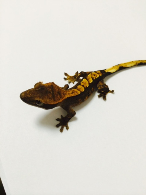 Flame Dalmation Crested Gecko for sale   Snakes at Sunset