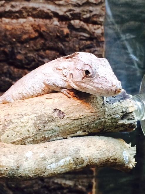 Baby False Chameleon for sale (Anolis barbatus) only males