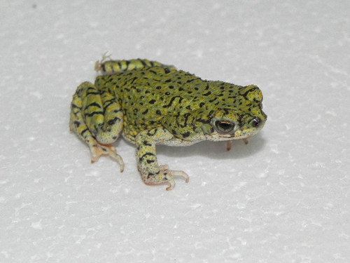 Sonoran Green Toad for sale (Bufo retiformis)