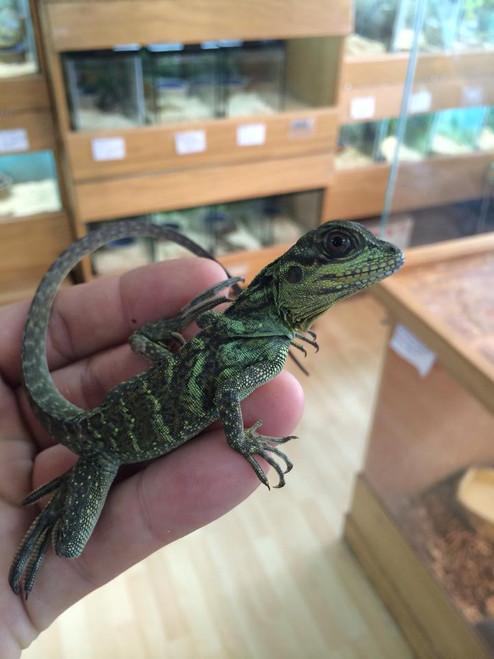 Sailfin Dragons for sale