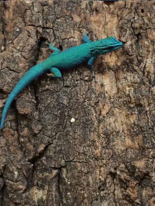 Electric Blue Geckos for sale (Lygodactylus williamsi) UNSEXED