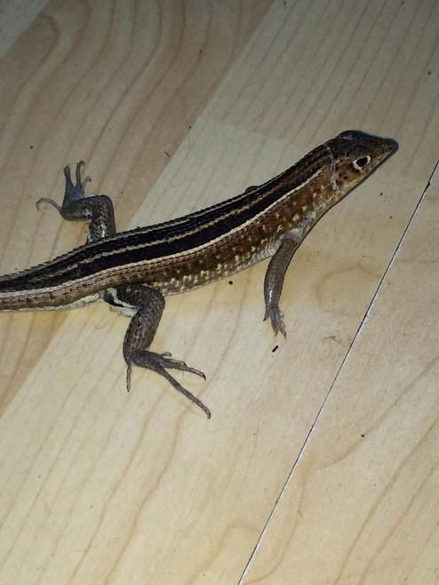 Madagascar Girdled Lizard for sale | Snakes at Sunset