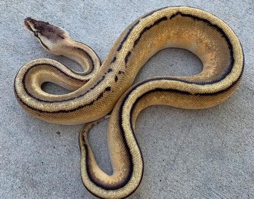 Pastel Genetic Stripe Ball Python for sale