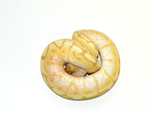 Coral Glow Spider Ball Python for sale (Python regius)