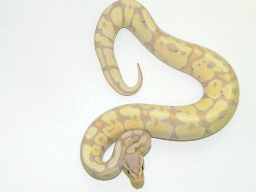 Pastel Coral Glow Ball Python for sale | Snakes at Sunset