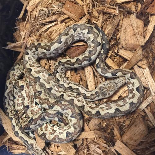 Isabel Phase Soloman Island Tree Boas   Snakes at Sunset