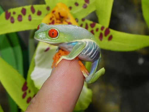 Red Eye Tree Frog for sale