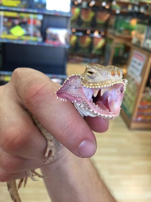 Toad Head Agamas for sale | Snakes at Sunset