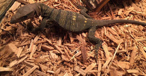 Spiney Monitor for sale | Snakes at Sunset