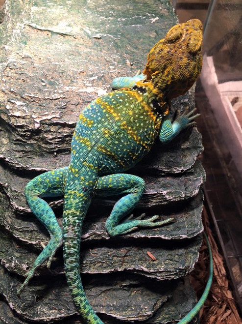 Flame Collard Lizards for sale   Snakes at Sunset
