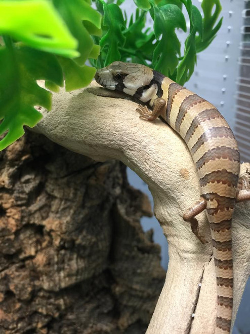Pink Tongue Skinks for sale | Snakes at Sunset