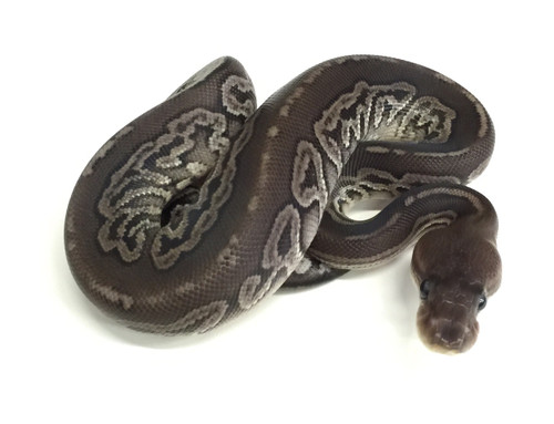 Gargoyle Ball Python for sale | Snakes at Sunset