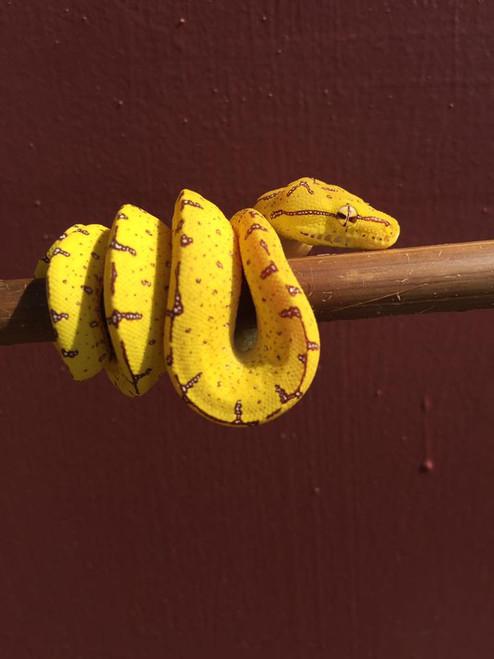 Manakwari  Green Tree Python for Sale (Morelia viridis)