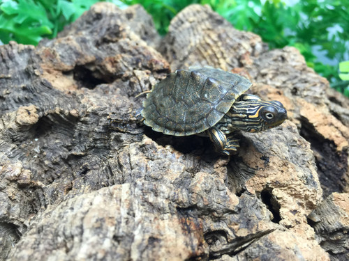 Texas Map Turtles for sale | Snakes at Sunset
