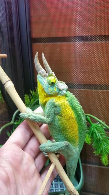 True Jacksons Chameleon for sale| Snakes at Sunset