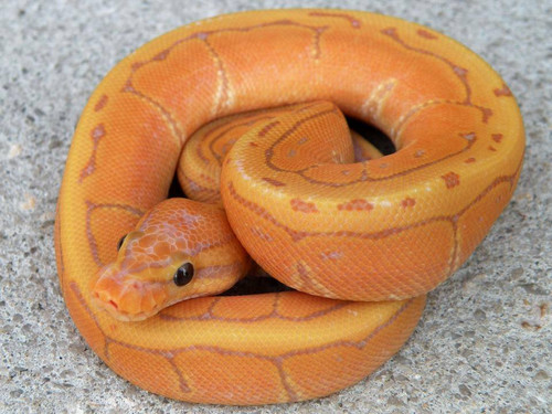 Coral Glow Pinstripe Ball Python for sale | Snakes at sunset