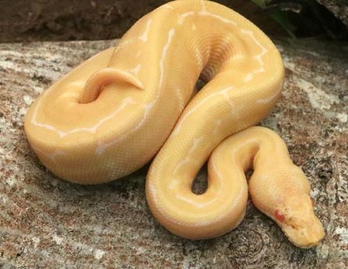 Albino Pinstripe Ball Python for sale (Python regius)