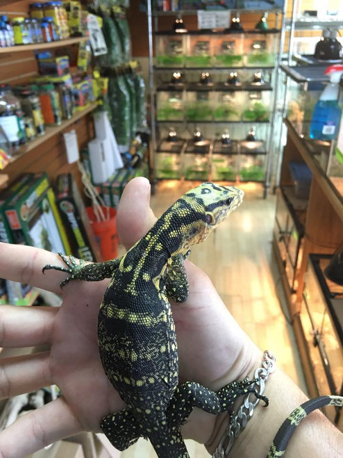 Cumingi Water Monitors for sale | Snakes at Sunset