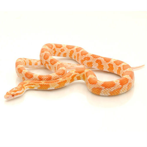 Creamsicle Corn Snakes for sale | Snakes at Sunset