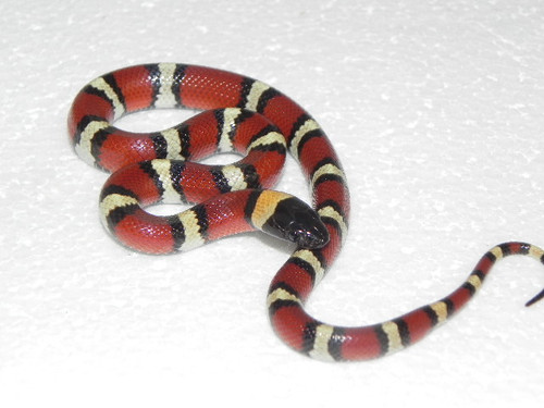 Mexican Milksnakes for sale