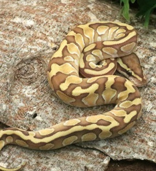 Butter Enchi Ball Python for sale (Python regius) male only